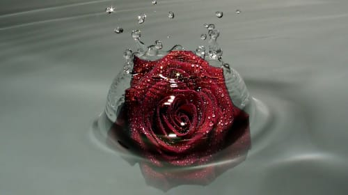The Drowning Rose