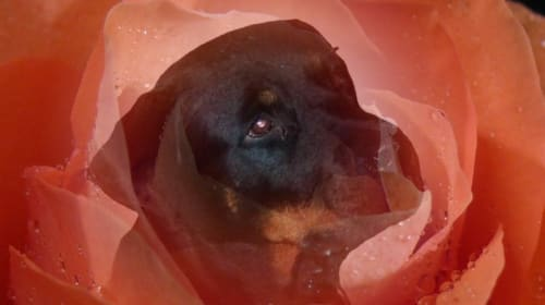 The Rottweiler with Strength