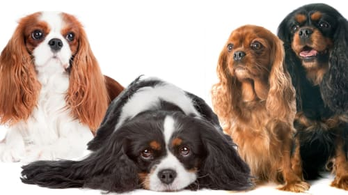 Common Health Problems of Cavalier King Charles Spaniels