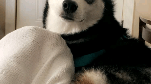 My Siberian Husky