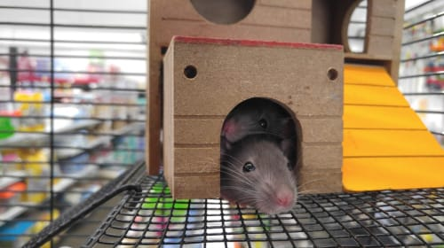 Are We Smarter Than Rats?