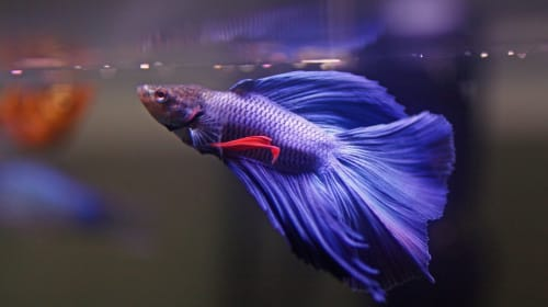 Betta: Care Guide for a Starter Fish