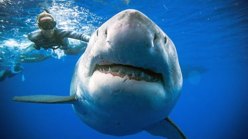 Ocean Ramsey and the Endangerment of Pregnant Sharks
