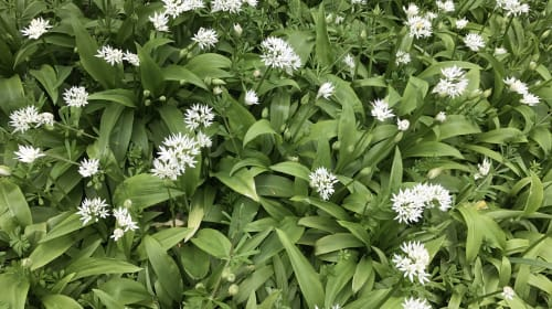 Wild Garlic Aioli