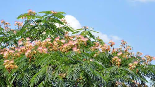 Albizzia: The Legal Happiness Herb