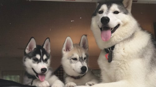 Tips for Siberian Husky Owners