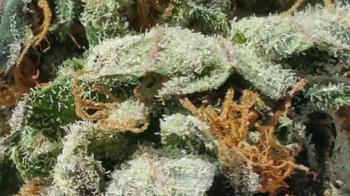 Job Hazards: The Sting of Cannabis