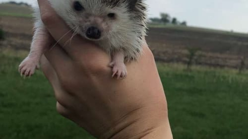 Fran the Hedgehog