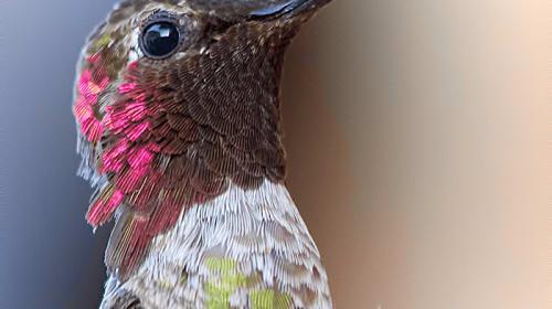 You Want Hummingbirds? Grow Scarlet Runner Beans