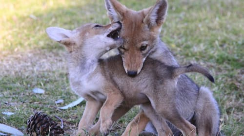 Coyotes Call for Help