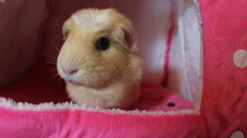 The New Guinea Pig Owner Guide