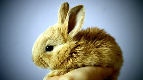 Best Pet Rabbit Breeds