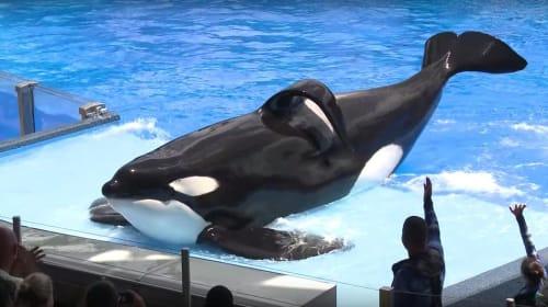 Tilikum: A Killer Whale with a Killer Attitude