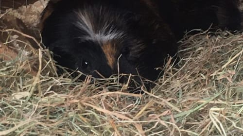 Top 10 Tips to Earn Your New Guinea Pig's Trust!