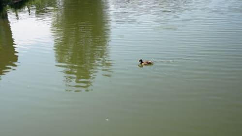 Sea Sick Duck