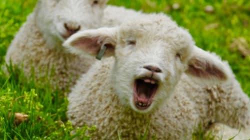 Shaw Shank Lamb Redemption
