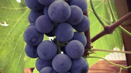 Yes, You Can Grow Wine Grapes in Montana!