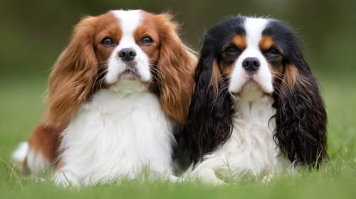 Why Should I Choose a Cavalier King Charles Spaniel?