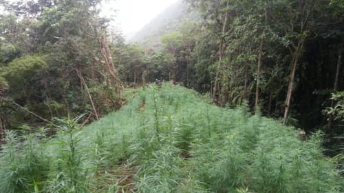 A Journey with Ganja