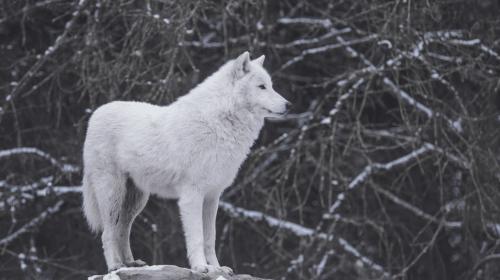 5 Ways to Train a Wolf