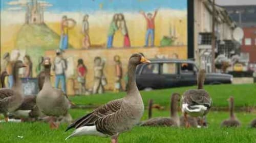 The GreyLag Geese of the Shankill Estate