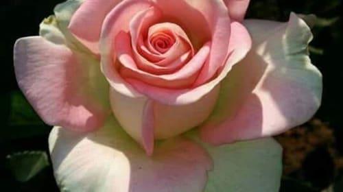 My Little Rose