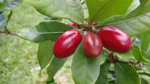 This West African Berry Alters Taste-Buds!
