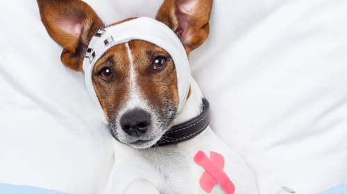 Can Dogs Get Concussions?