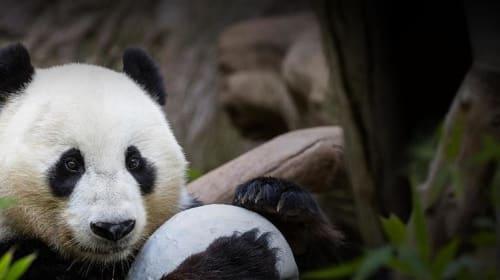 Dear San Diego, Thank You for Saving Pandas