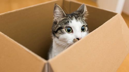 Why Do Cats Love Playing with Boxes?