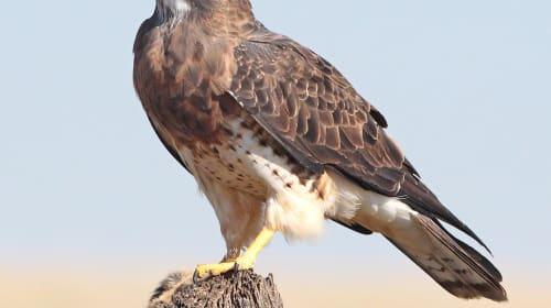 Keen as a Hawk!