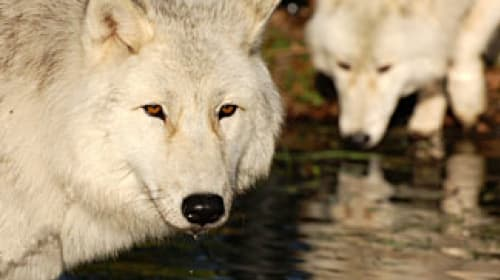 UK Wolf Conservation Trust Closes Its Doors