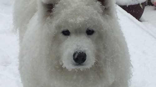 Gigi the Samoyed-Dire-Wolf-Polar-Bear