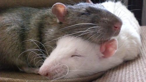 Rats Can Be Pets, Too!