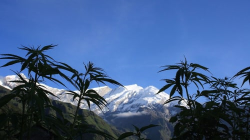 Himalayan Hemp from Nepal