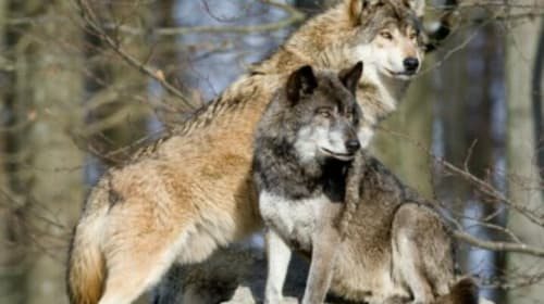 The Eastern Timber Wolf