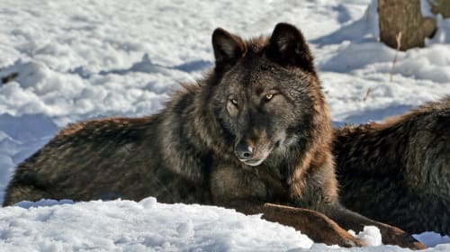 Wolves Are in Danger... Again
