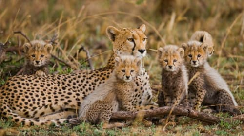 25 Facts About Cheetahs