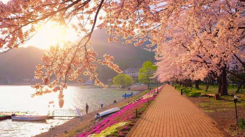 Cherry Blossom Thoughts