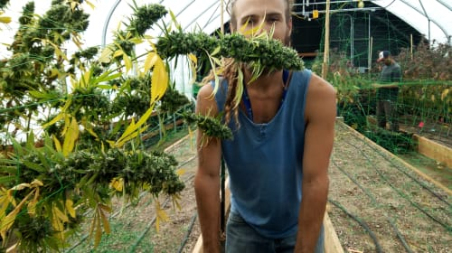 What It's Really Like to Farm Cannabis Legally, in Oregon.