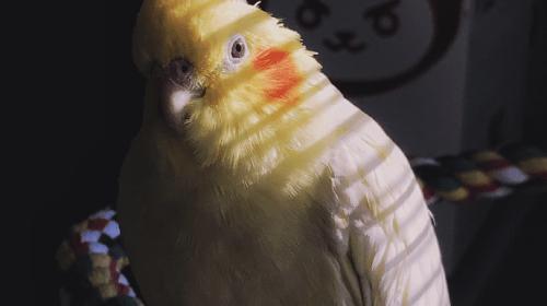 Getting a Cockatiel