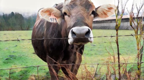 What Are the American Cow Breeds?