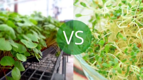 Microgreens vs Sprouts: What Is the Difference?