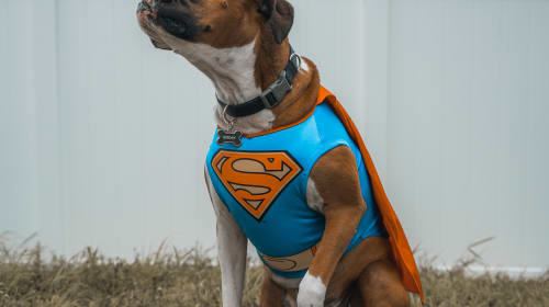 Why Boxers are the Greatest Dogs
