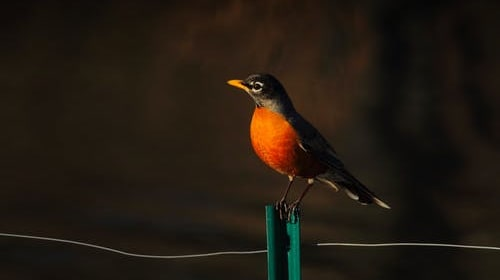 What the Robin Sings of