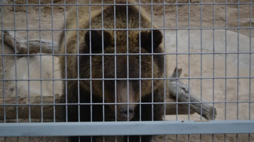 Delisting of the Yellowstone Grizzly Bear Population From the Endangered Species List and the Trump Administration's Vital Mistake