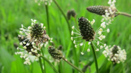 Foraging: Ribwort Plantain