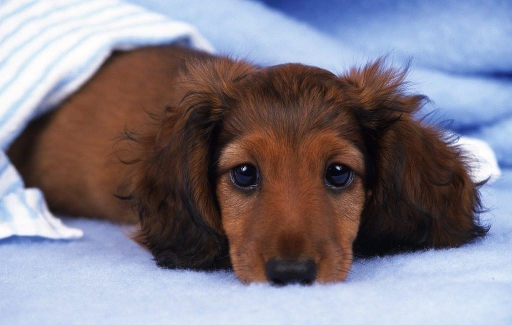 Top Dog Breeds For Apartment Living