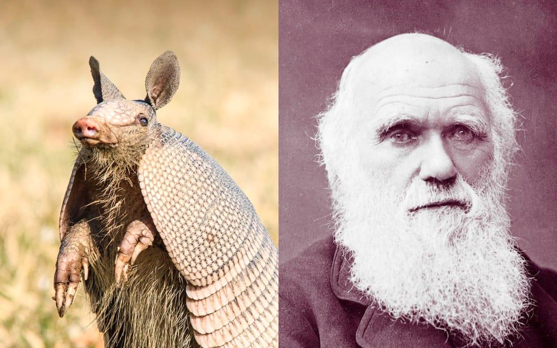 Charles Darwin: Armadillo