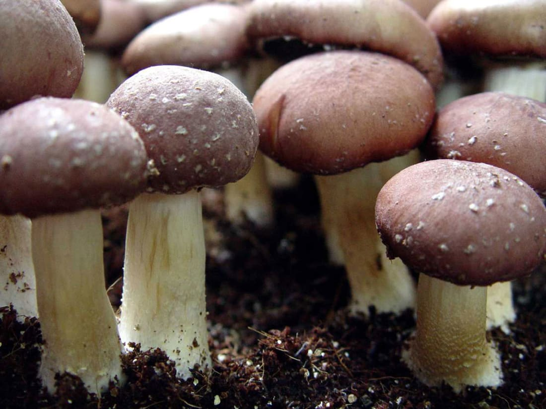 magic mushroom growing tips potent